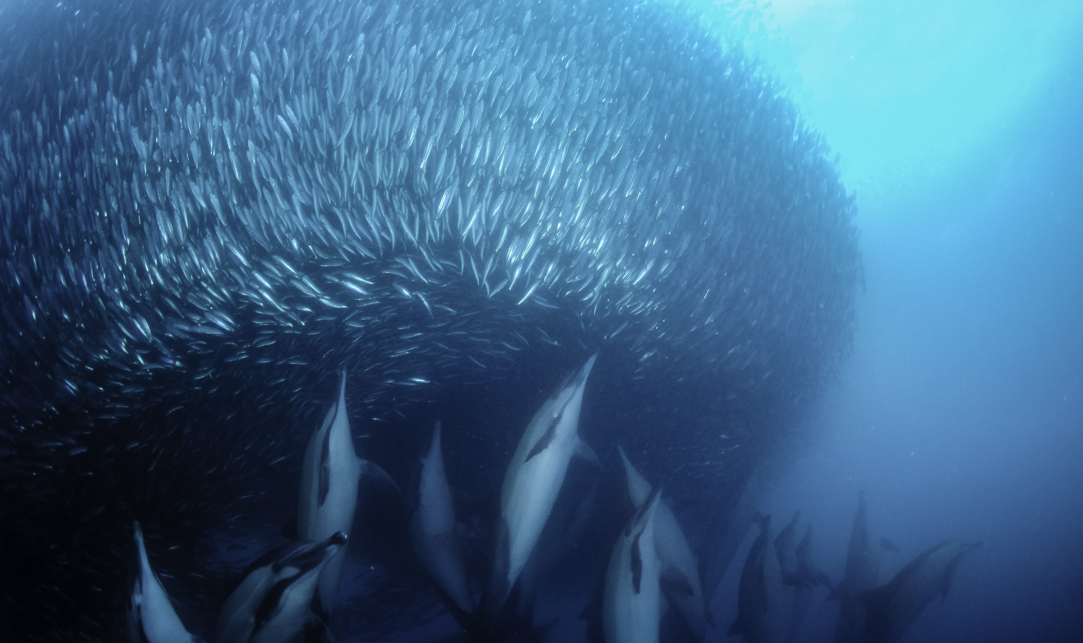 Sardine Run - trip of   in  South Africa